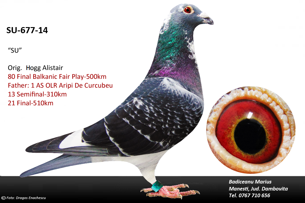 ro-15-833423 father 1st ace pigeon 2015
